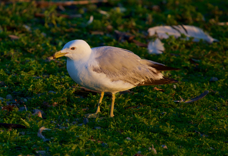mew: The close-up of the mew gull
