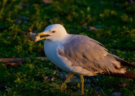 mew: The close-up of the mew gull with her food Stock Photo