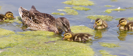 congregate: The young family of ducks is swimming