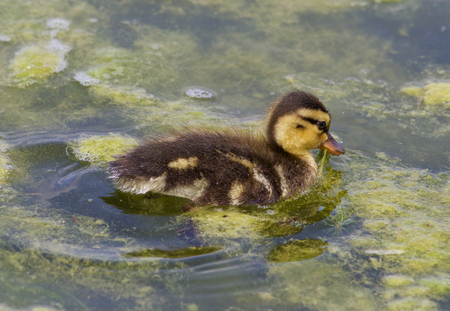 dabbling: Cute chick of the mallards is eating the algae in the lake