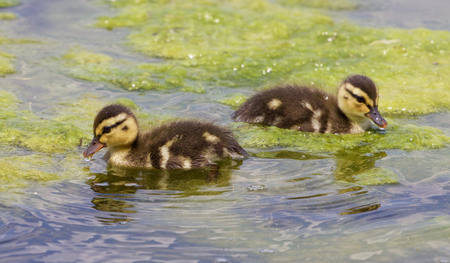 congregate: Two cute young ducks are swimming in the algae Stock Photo
