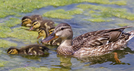 dabbling: Beautiful mother-duck with the chicks in the lake