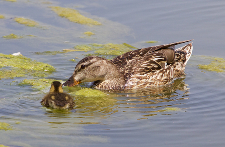 dabbling: The mother-duck and her chick together Stock Photo
