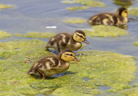 dabbling: Funny cute chicks of the mallards on the algae