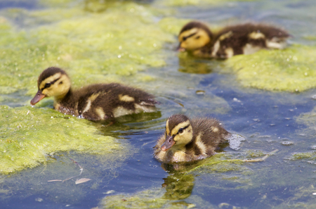 congregate: Three cute young ducks together Stock Photo