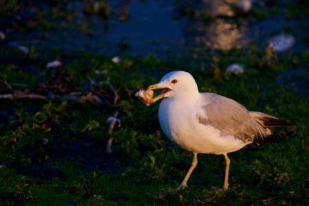 mew: The background with the mew gull and her food on the sunny evening Stock Photo