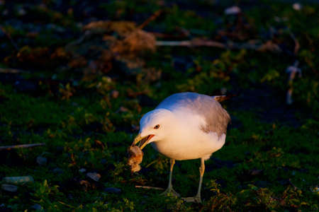 mew: The mew gull is eating something
