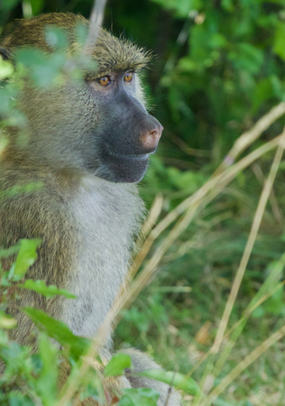 terrestrial mammal: The joyful baboons funny portrait