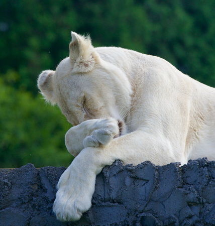 Funny white lion seems to be ashamed
