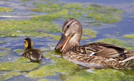 congregate: Funny mother-duck and her chick in the lake