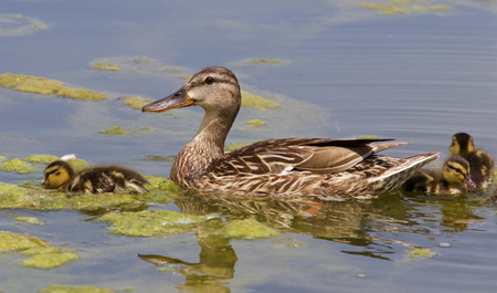 congregate: The duck and three chicks are swimming