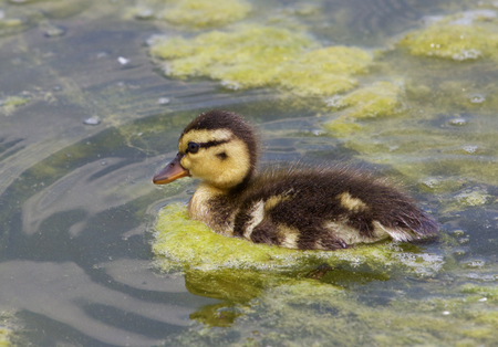 dabbling: Close-up of the cute young swimming duck