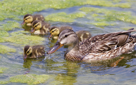 congregate: The mother-duck and five of her chicks are eating the algae