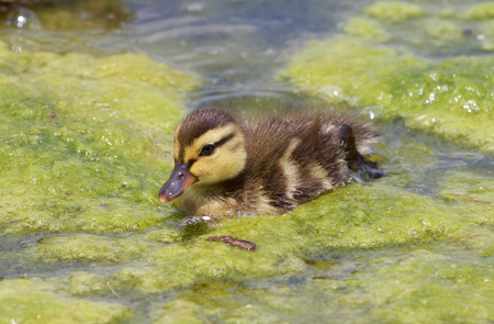 speckle: Very cute chick of the ducks close-up