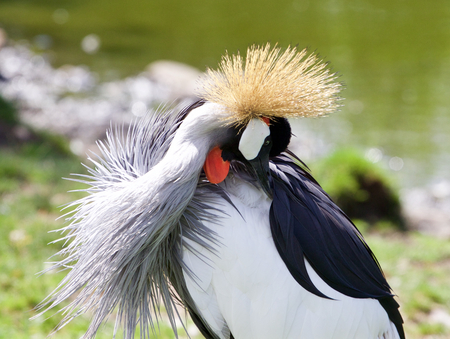 bowing head: Beautiful East African Crowned Crane has found something in his plumage