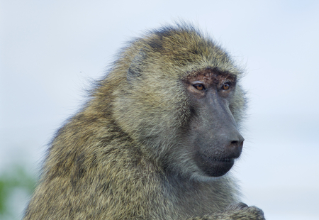skeptic: The skeptic baboons funny portrait Stock Photo