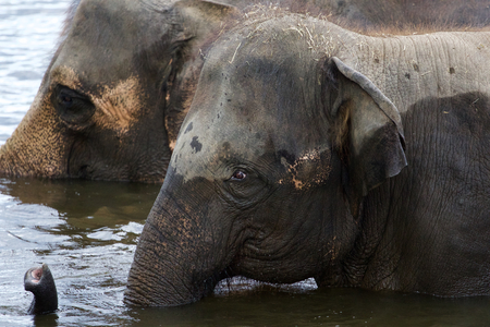 land mammals: Two strong elephants are swimming in the lake