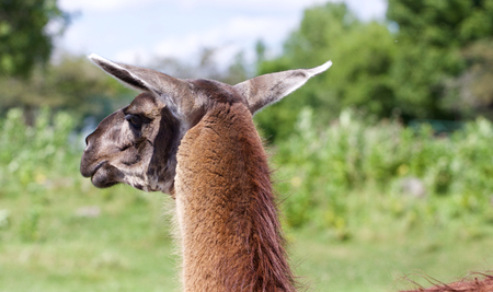 afield: The beautiful close-up of the brown llama looking afield