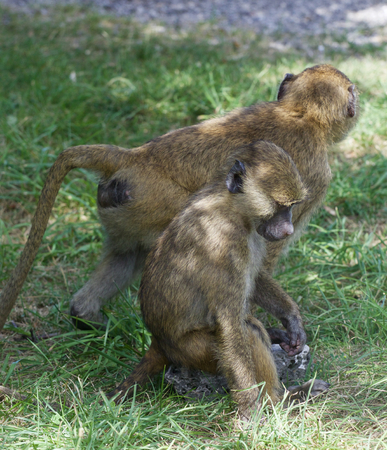 terrestrial mammal: Two young baboons together on the grass