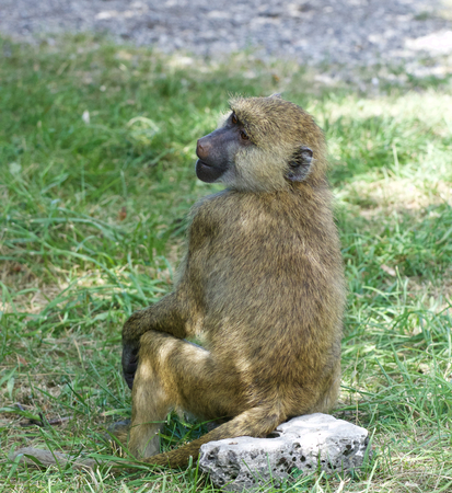 terrestrial mammal: The young baboon is sitting on the grass field