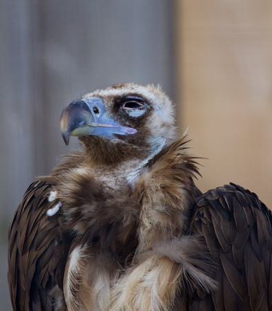 raptorial: Cinereous vulture close-up Stock Photo