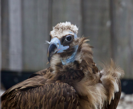 raptorial: Background with the unique Cinereous vulture bird