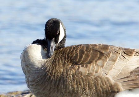 cackling: Beautiful image with the Canada goose on the sunny day