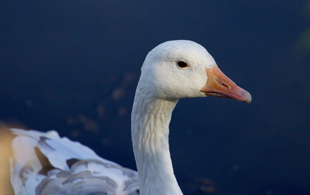 solely: Photo of the snow goose in the lake