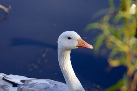 solely: Interesting photo of the snow goose in the lake Stock Photo