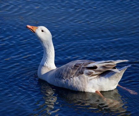 solely: Image with the Snow goose drinking water Stock Photo