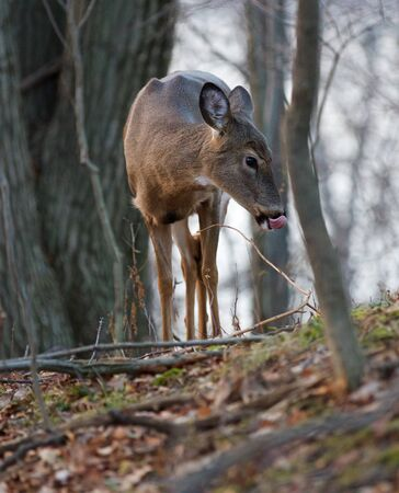 long tongue: Photo of a funny deer with the long tongue