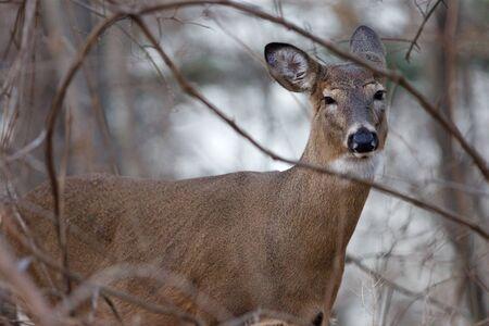narrowing: Photo of the beautiful deer narrowing his eyes
