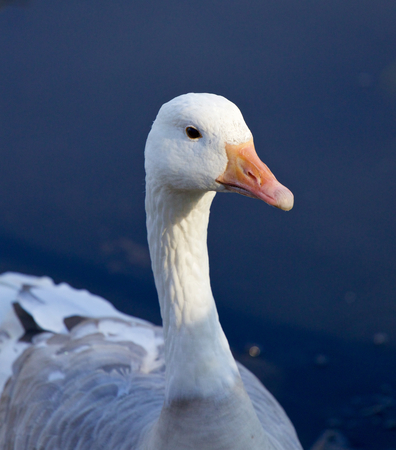 goose head: Photo of a snow goose in the lake