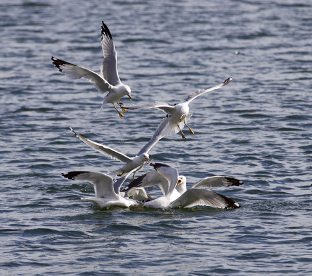 food fight: Funny photo of the gulls fight in the lake for the food