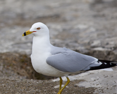 staying: Beautiful image with the gull staying on the gray shore