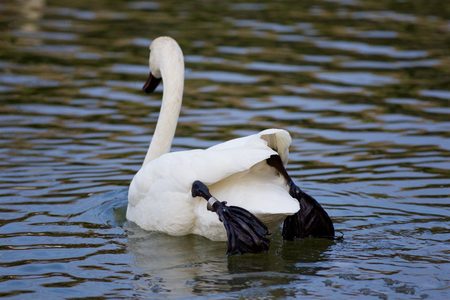 trumpeter swan: Beautiful isolated image with a trumpeter swan jumping from the ice