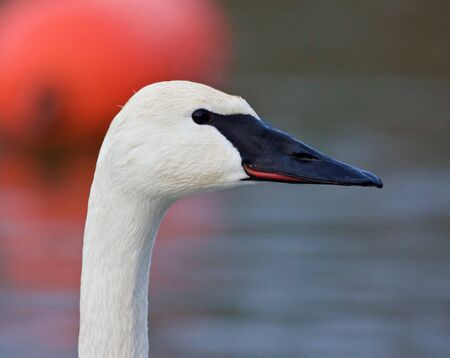 trumpeter swan: Beautiful picture with a cute trumpeter swan