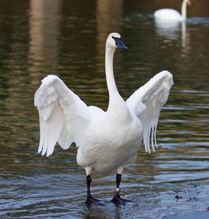 trumpeter swan: Beautiful isolated image with a funny trumpeter swan standing on the ice Stock Photo