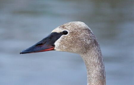 trumpeter swan: Beautiful isolated picture with a cute trumpeter swan on the evening