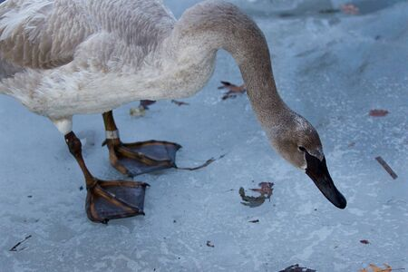 trumpeter swan: Beautiful isolated image with the trumpeter swan standing on the ice in the evening