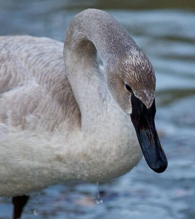 trumpeter swan: Beautiful photo with a cute trumpeter swan on the ice Stock Photo