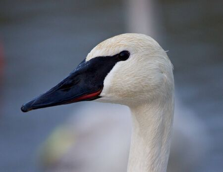 trumpeter swan: Beautiful photo of a cute trumpeter swan Stock Photo