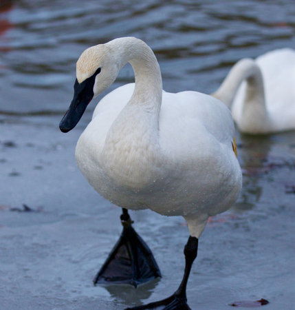 trumpeter swan: Beautiful isolated image with a trumpeter swan going on the ice