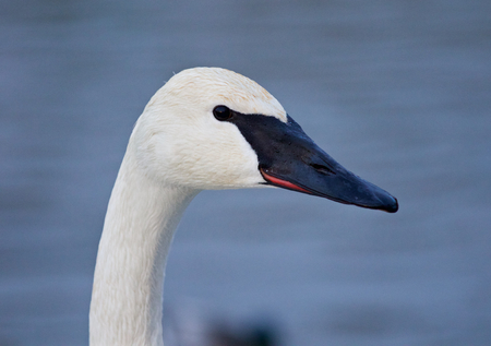 trumpeter swan: Beautiful background with the trumpeter swan on the winter evening Stock Photo