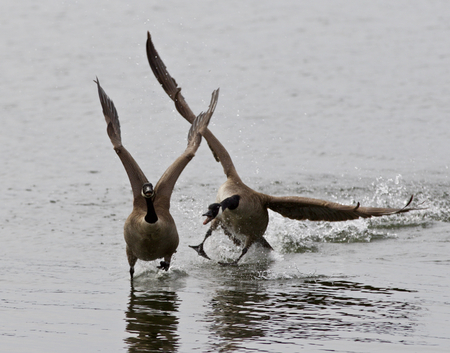 rival: Expressive isolated image with the Canada goose chasing his rival on the lake Stock Photo