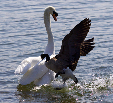 Amazing photo of the Canada goose attacking the swan