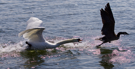 Amazing background with the angry swan attacking the Canada goose