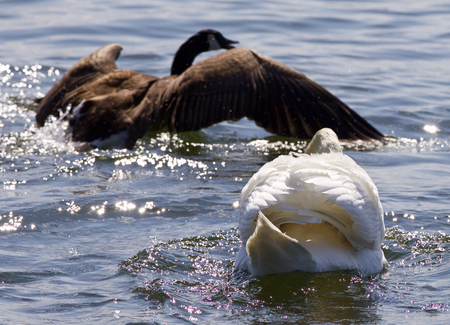 Beautiful photo of the contest between the swan and the Canada goose