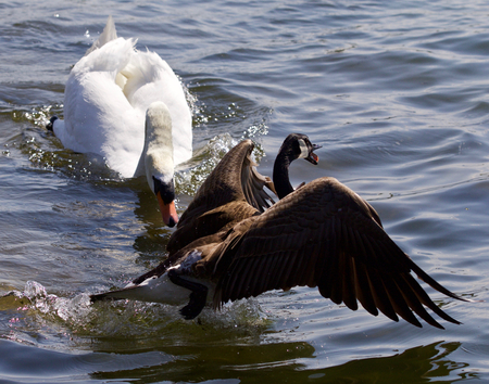 Amazing emotional moment with the swan attacking the Canada goose Stock Photo