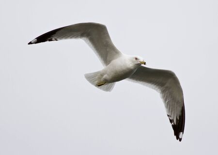 spreaded: Beautiful isolated photo of a flying gull with the spreaded wings